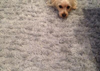 Burlingame-Dog-carpet-clean